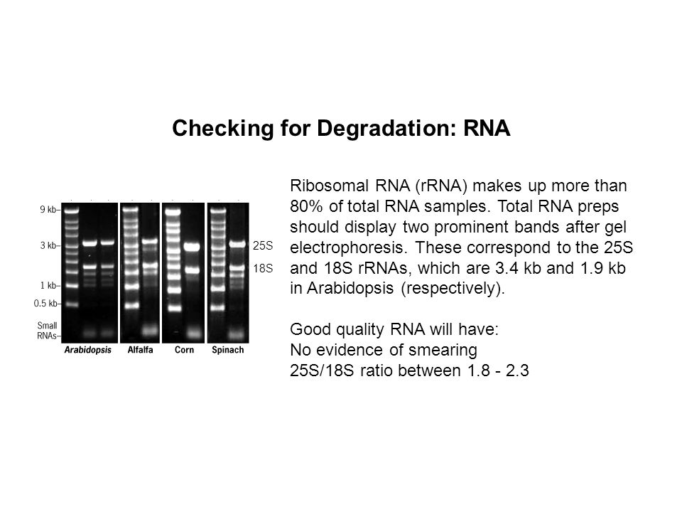 Checking for Degradation: RNA