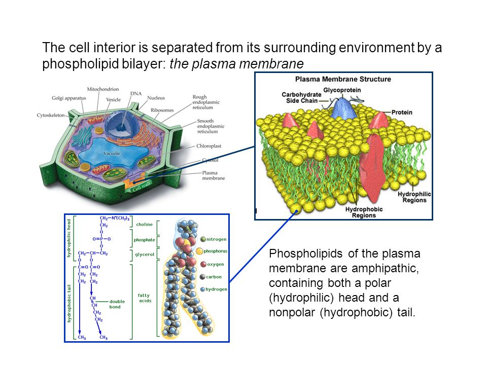 The cell interior is separated from its surrounding environment by a phospholipid bilayer: the plasma membrane