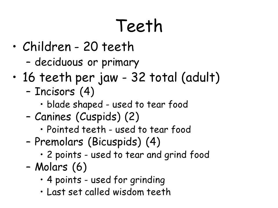 Teeth Children - 20 teeth 16 teeth per jaw - 32 total (adult)