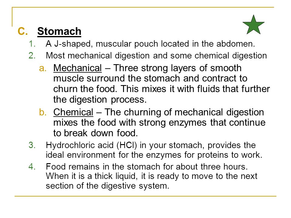 Stomach A J-shaped, muscular pouch located in the abdomen. Most mechanical digestion and some chemical digestion.
