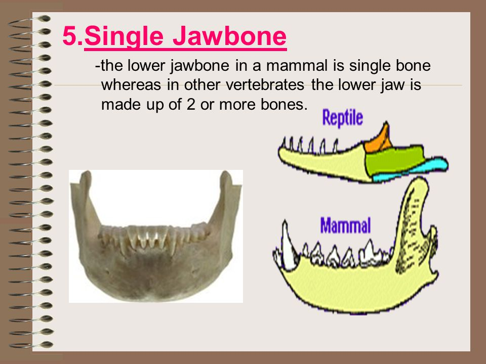5.Single Jawbone -the lower jawbone in a mammal is single bone whereas in other vertebrates the lower jaw is made up of 2 or more bones.