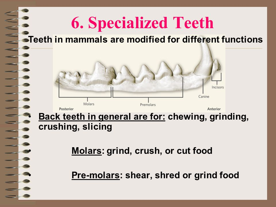 6. Specialized Teeth Teeth in mammals are modified for different functions. Back teeth in general are for: chewing, grinding, crushing, slicing.