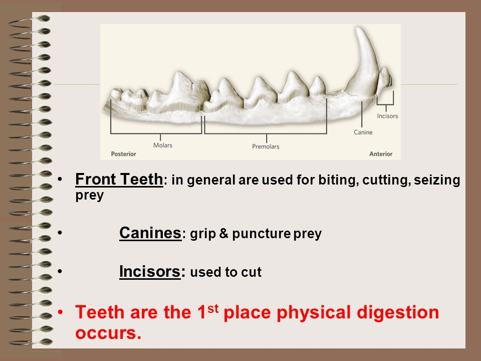 Teeth are the 1st place physical digestion occurs.