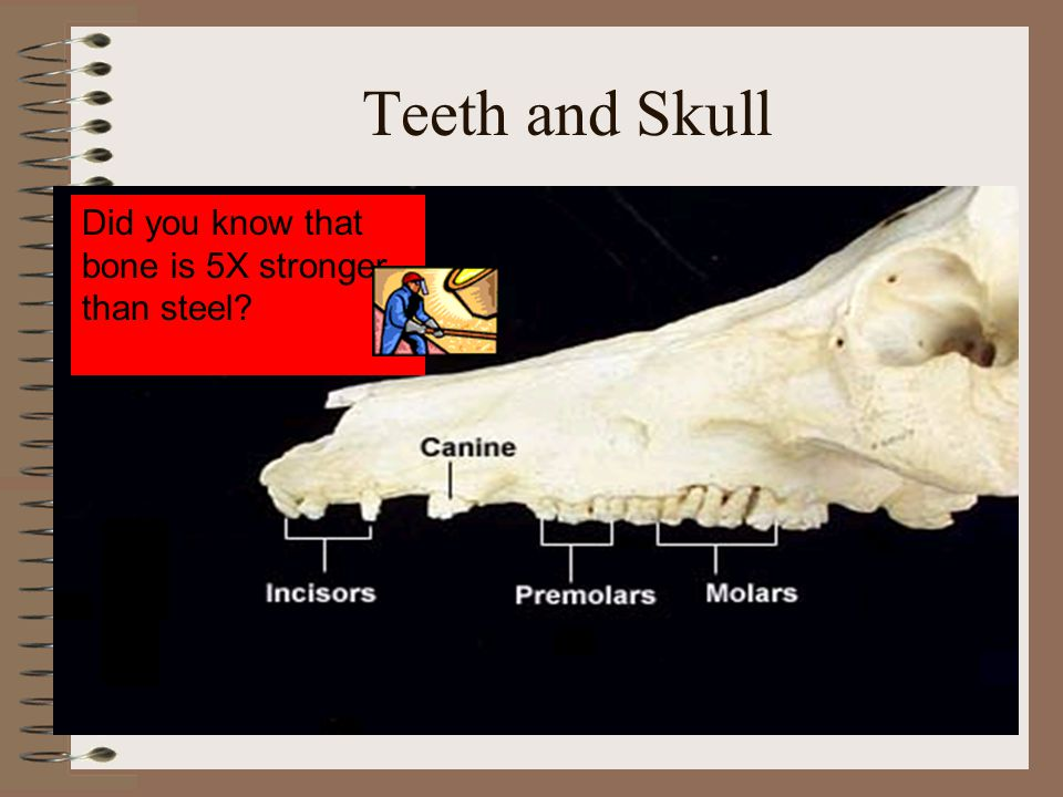 Teeth and Skull Did you know that bone is 5X stronger than steel