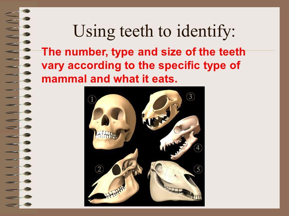 Using teeth to identify:
