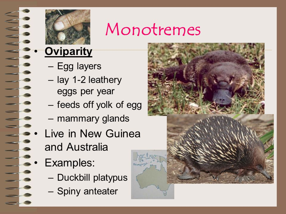 Monotremes Oviparity Live in New Guinea and Australia Examples: