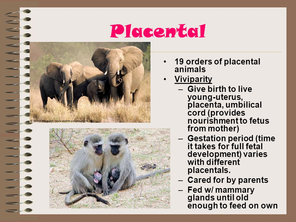 Placental 19 orders of placental animals Viviparity