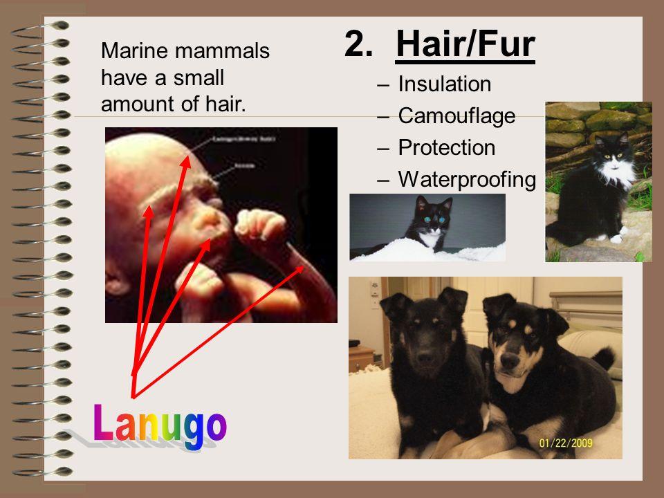 2. Hair/Fur Lanugo Marine mammals have a small amount of hair.