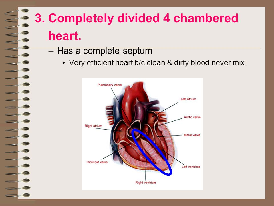 3. Completely divided 4 chambered heart.