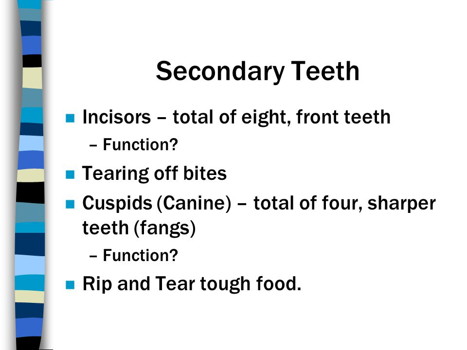 Secondary Teeth Incisors – total of eight, front teeth