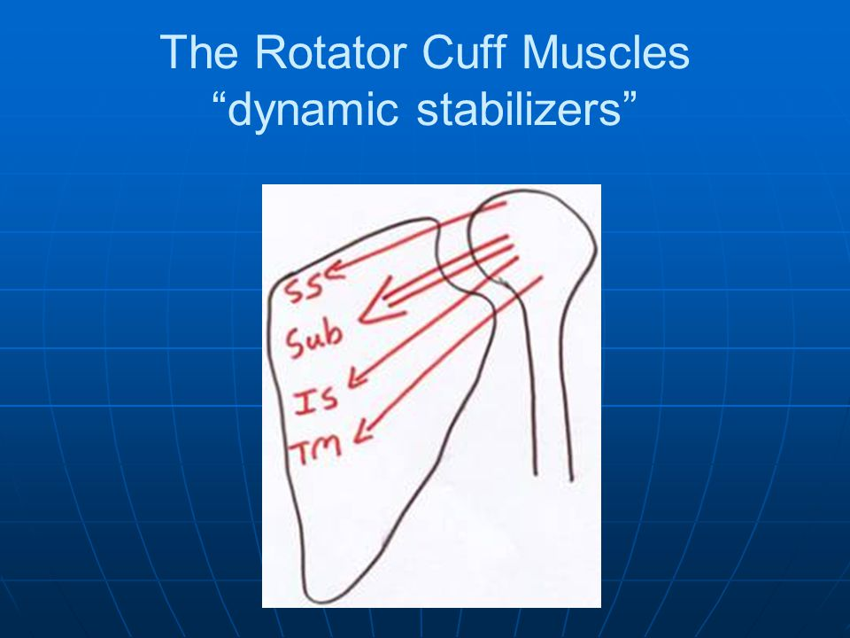 The Rotator Cuff Muscles dynamic stabilizers