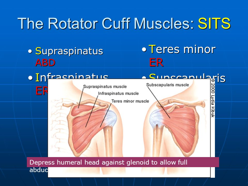 The Rotator Cuff Muscles: SITS
