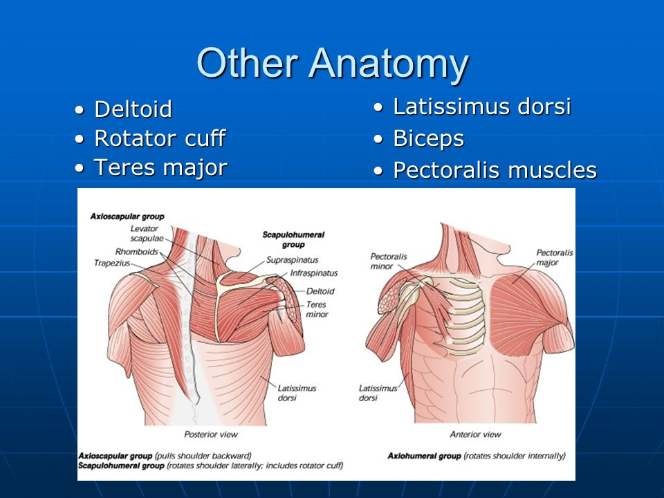 Other Anatomy Deltoid Rotator cuff Latissimus dorsi Biceps Teres major