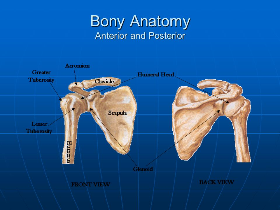 Bony Anatomy Anterior and Posterior