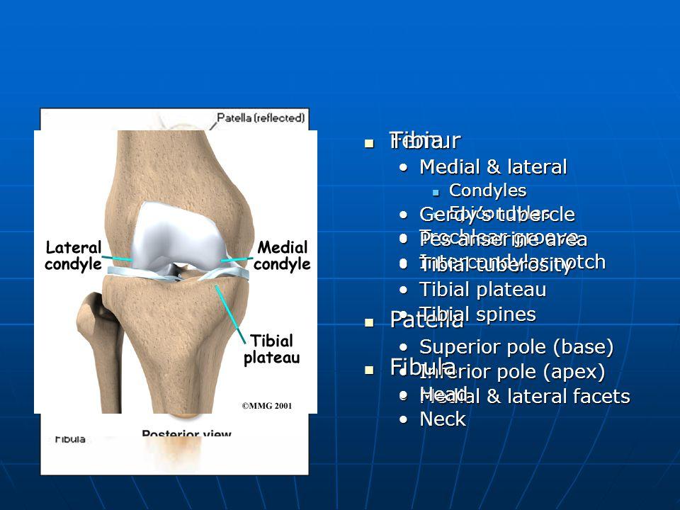 Tibia Fibula Femur Patella Medial & lateral Gerdy's tubercle