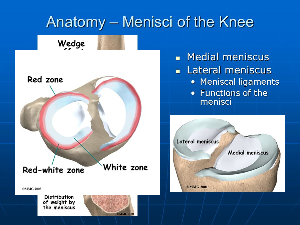 Anatomy – Menisci of the Knee