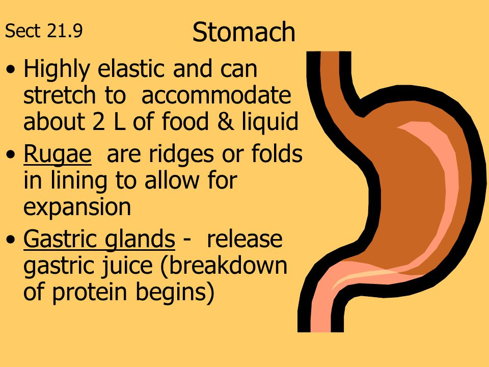 Stomach Sect 21.9. Highly elastic and can stretch to accommodate about 2 L of food & liquid.