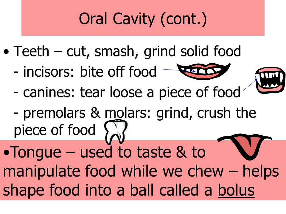Oral Cavity (cont.) Teeth – cut, smash, grind solid food. - incisors: bite off food. - canines: tear loose a piece of food.