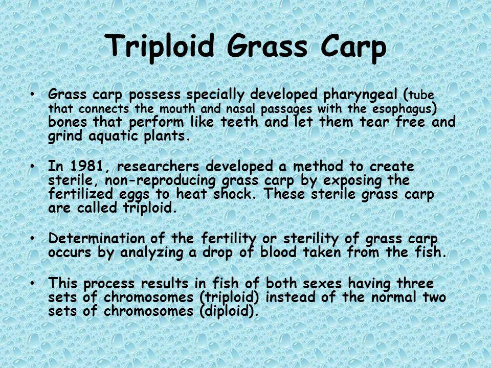 Triploid Grass Carp