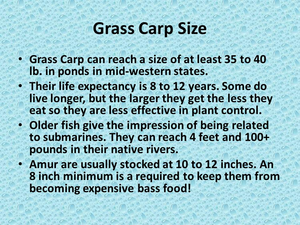 Grass Carp Size Grass Carp can reach a size of at least 35 to 40 lb. in ponds in mid-western states.