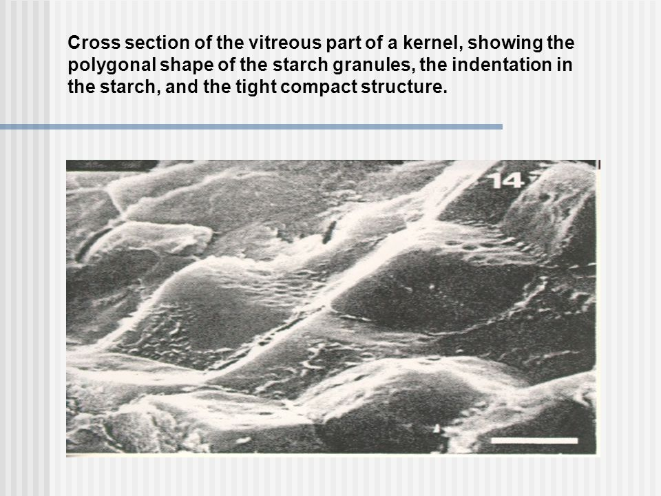 Cross section of the vitreous part of a kernel, showing the
