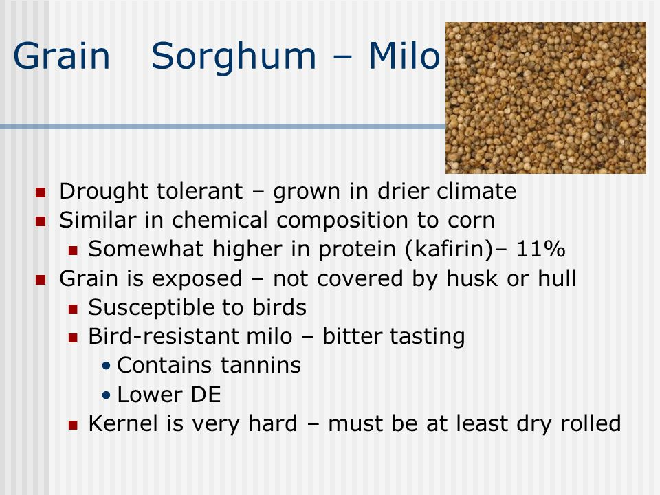 Grain Sorghum – Milo Drought tolerant – grown in drier climate