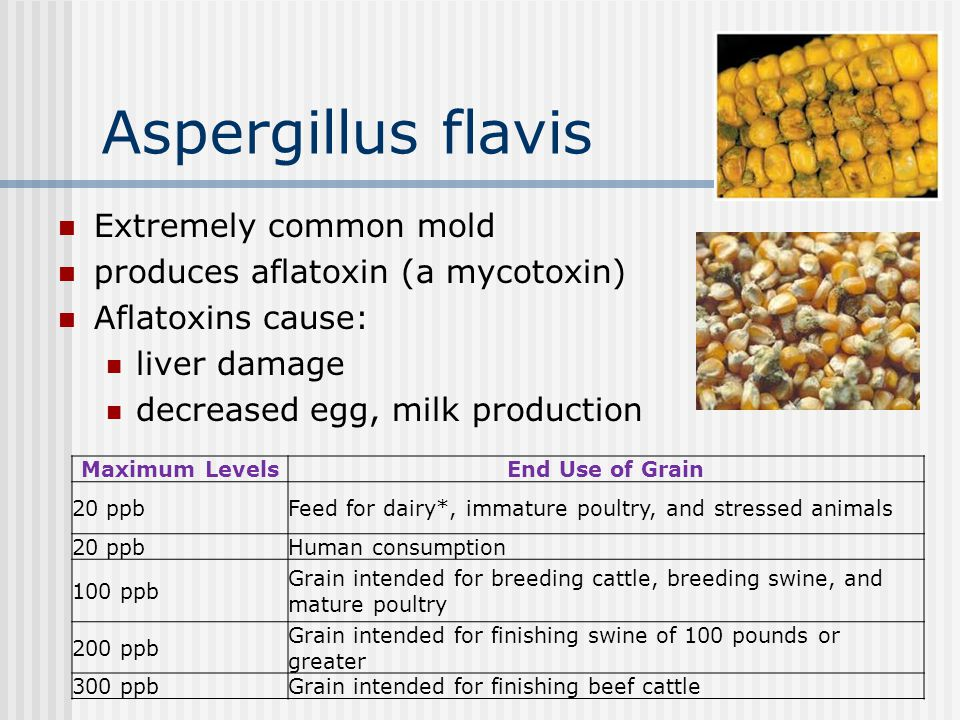 Aspergillus flavis Extremely common mold