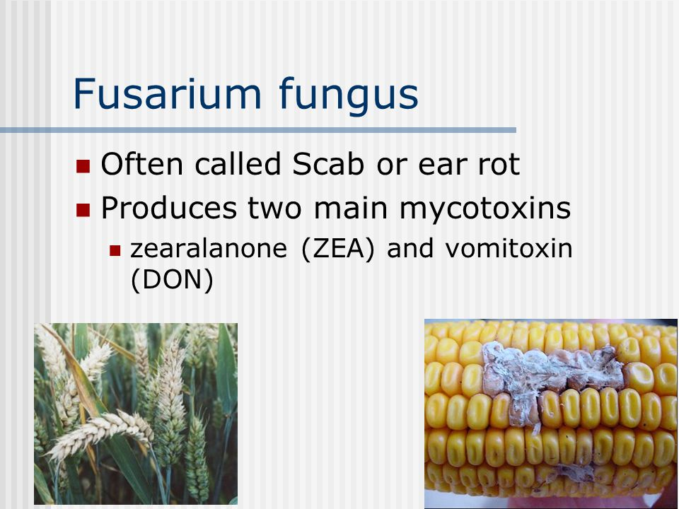 Fusarium fungus Often called Scab or ear rot