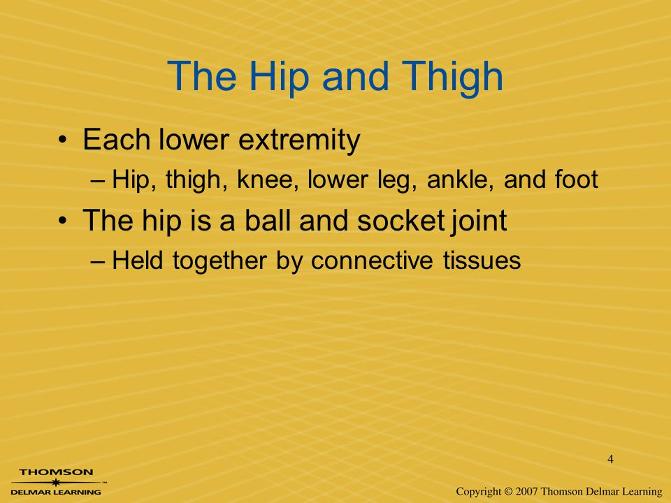 The Hip and Thigh Each lower extremity