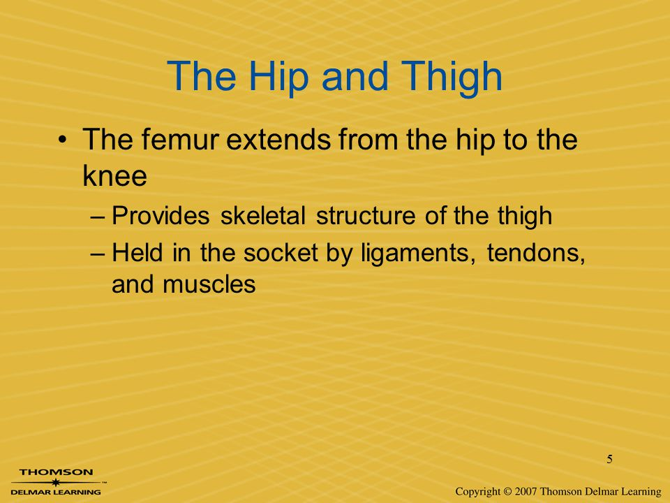 The Hip and Thigh The femur extends from the hip to the knee