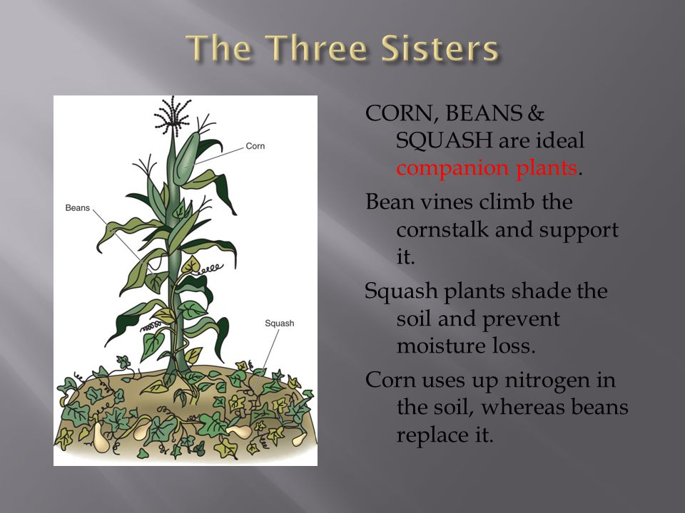 The Three Sisters CORN, BEANS & SQUASH are ideal companion plants.