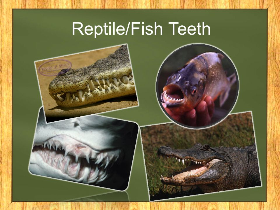 Reptile/Fish Teeth
