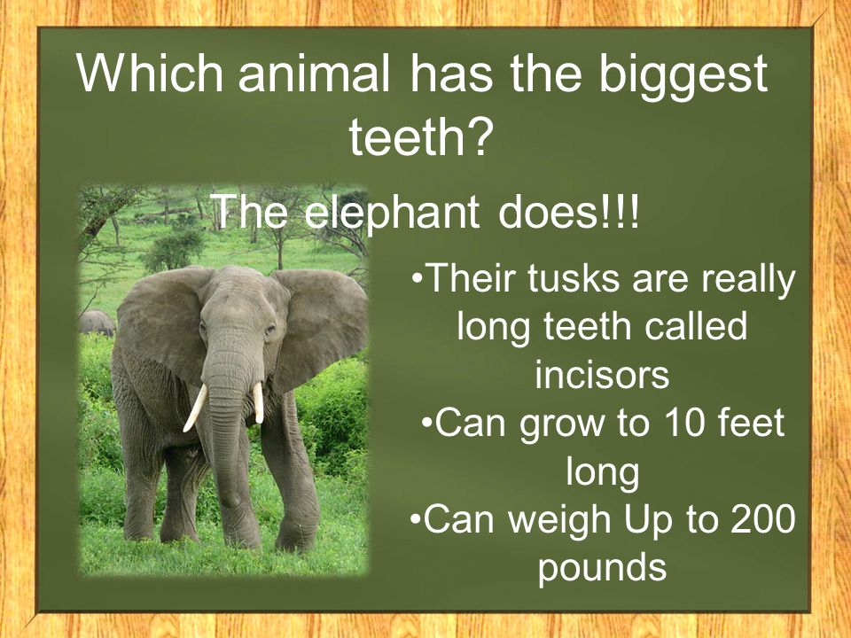 Which animal has the biggest teeth