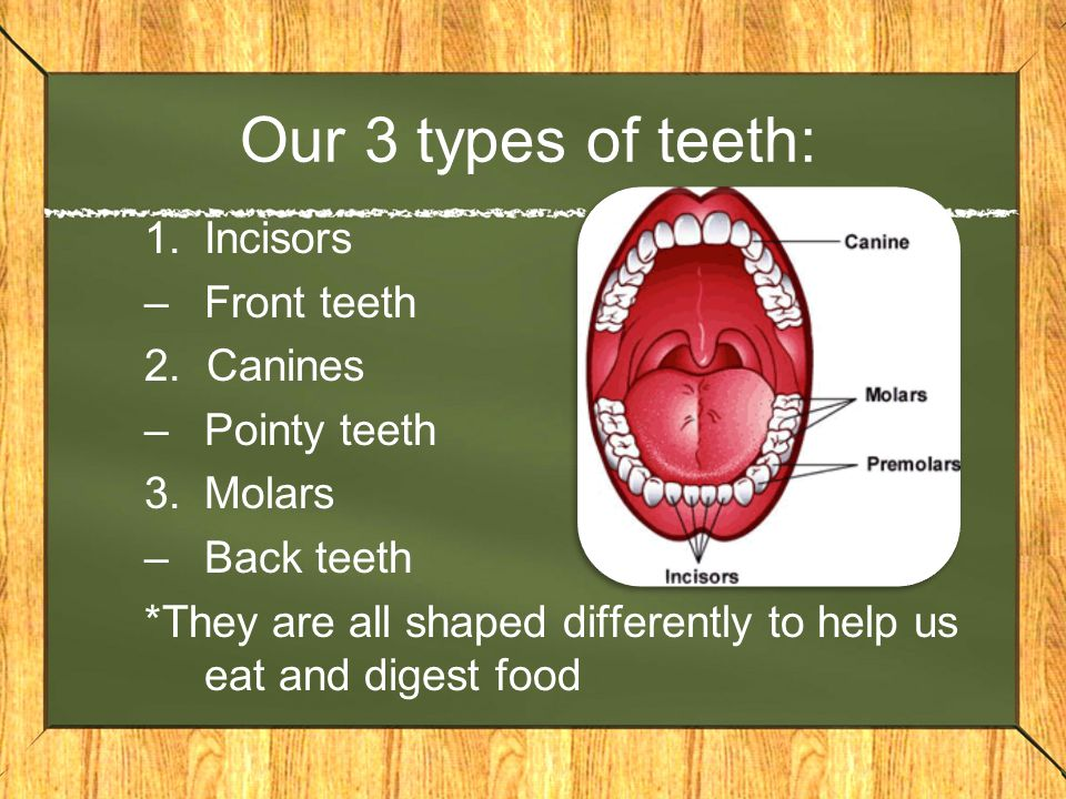 Our 3 types of teeth: Incisors Front teeth 2. Canines Pointy teeth