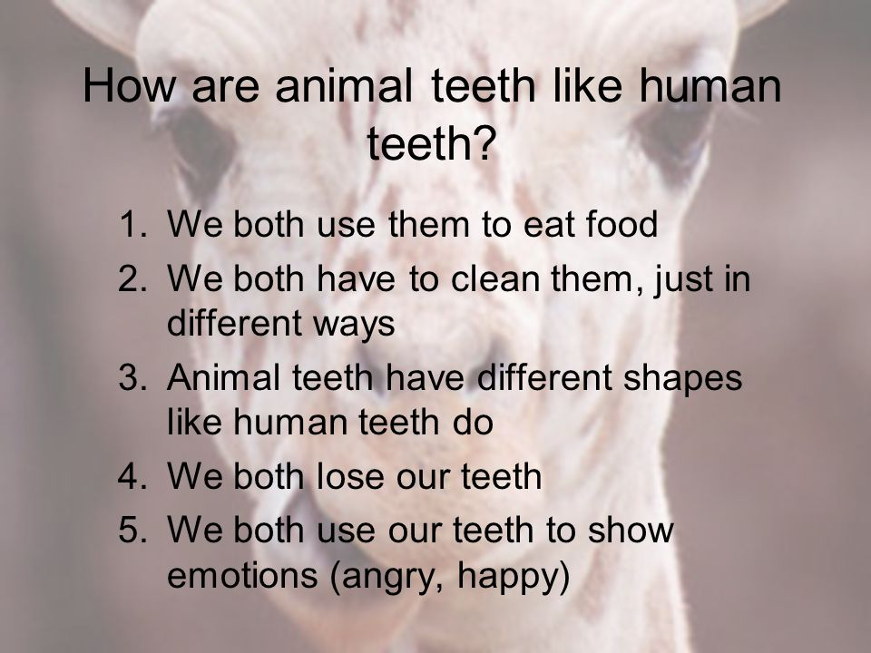 How are animal teeth like human teeth