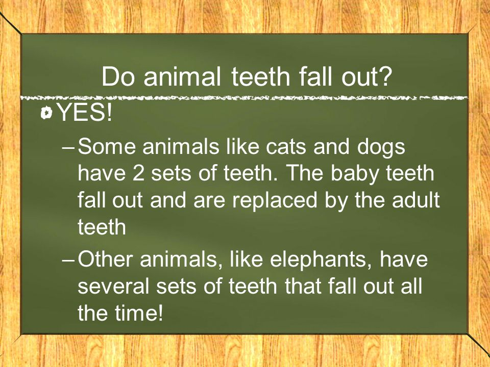 Do animal teeth fall out