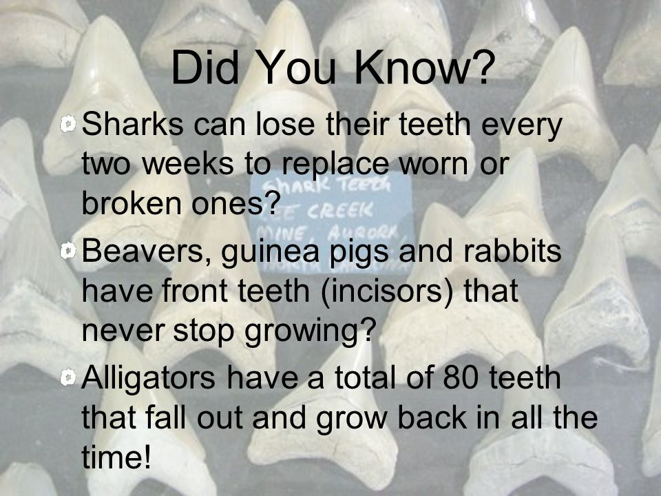 Did You Know Sharks can lose their teeth every two weeks to replace worn or broken ones