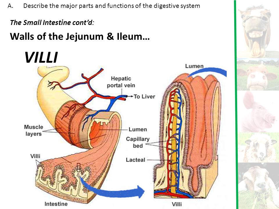 VILLI Walls of the Jejunum & Ileum… The Small Intestine cont'd: