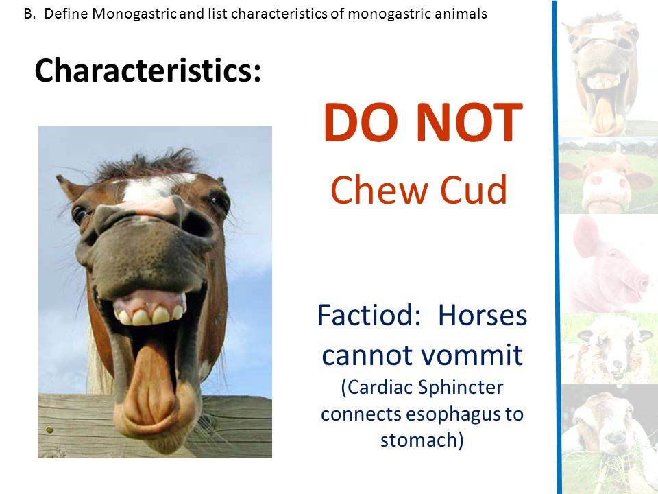 DO NOT Chew Cud Characteristics: Factiod: Horses cannot vommit