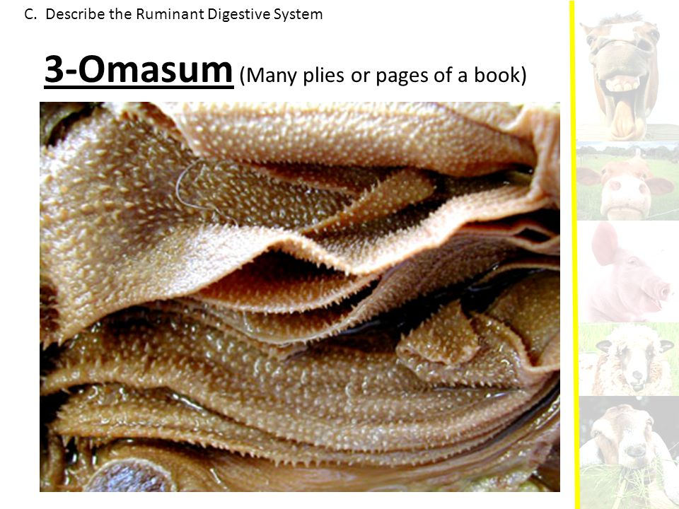 3-Omasum (Many plies or pages of a book)