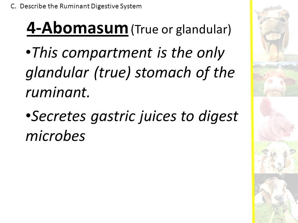 4-Abomasum (True or glandular)
