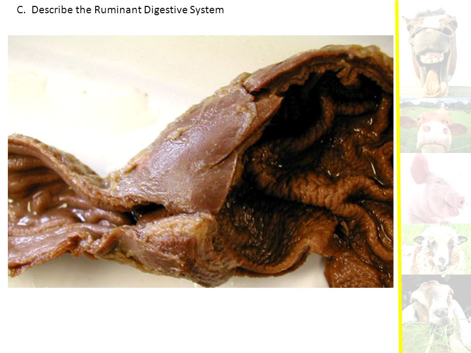 C. Describe the Ruminant Digestive System