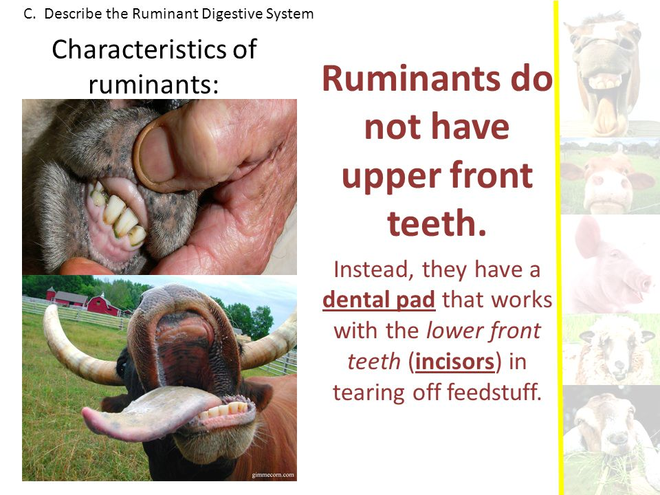 Ruminants do not have upper front teeth.