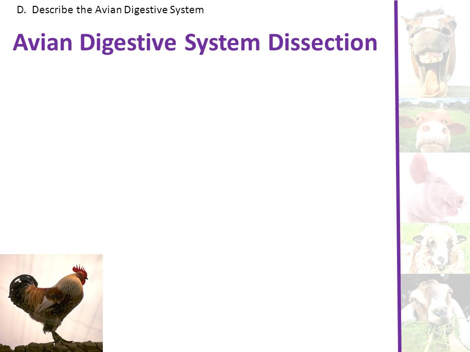 Avian Digestive System Dissection