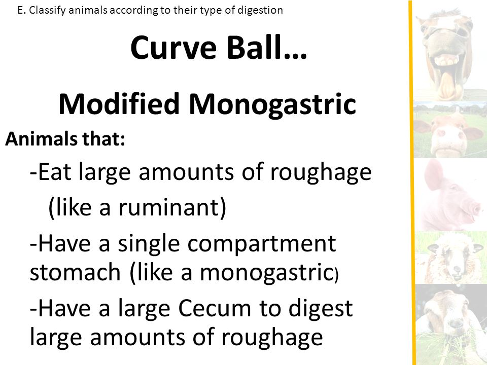 Curve Ball… Modified Monogastric -Eat large amounts of roughage