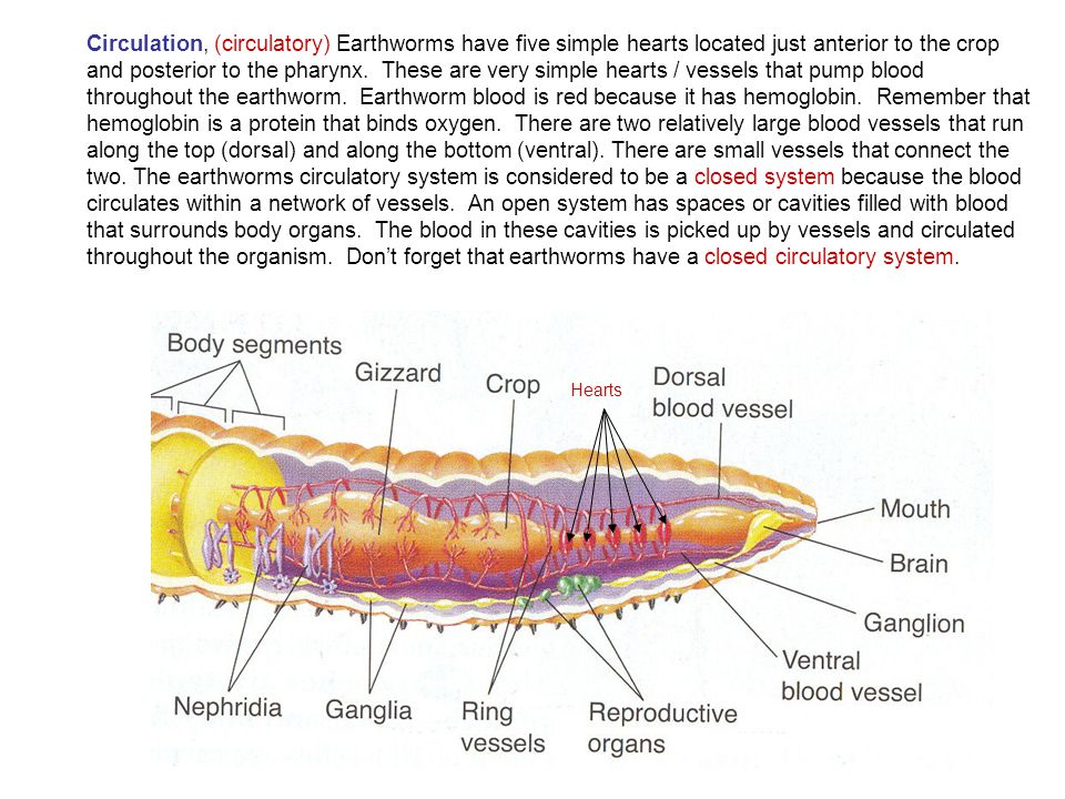 Last Bing Queries & Pictures for Earthworm Anatomy