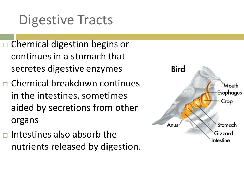 Digestive Tracts Chemical digestion begins or continues in a stomach that secretes digestive enzymes.