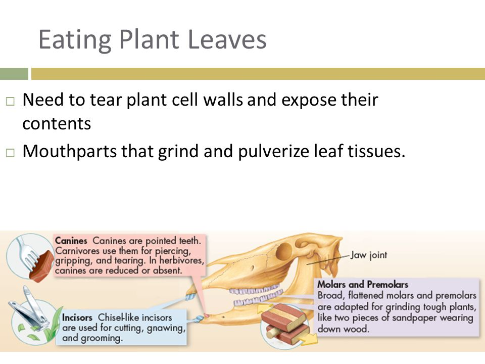 Eating Plant Leaves Need to tear plant cell walls and expose their contents.