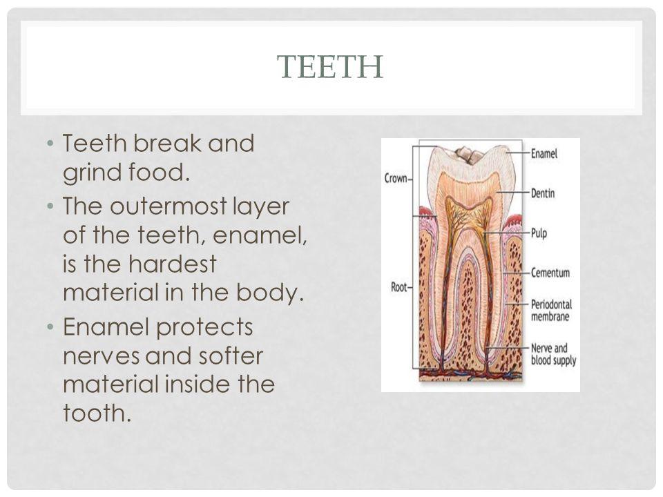 Teeth Teeth break and grind food.
