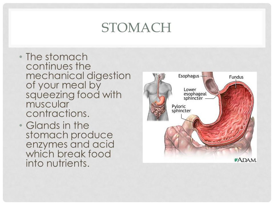 Stomach The stomach continues the mechanical digestion of your meal by squeezing food with muscular contractions.